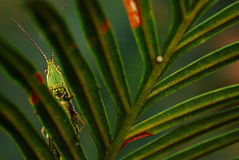 grasshopper and leaf Stock Images
