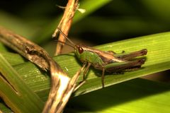 Grasshopper on leaf Royalty Free Stock Images