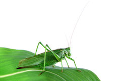 Grasshopper on a leaf. Isolated grasshopper on a leaf royalty free stock image