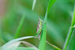 Grasshopper on a leaf Stock Photography