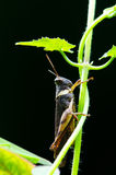 Grasshopper on the leaf. Royalty Free Stock Photo