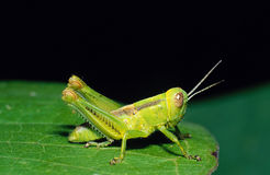 Grasshopper on Leaf Royalty Free Stock Image