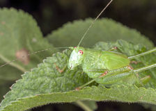 Grasshopper on a leaf Royalty Free Stock Images