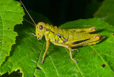 Grasshopper on leaf 7 Stock Photos