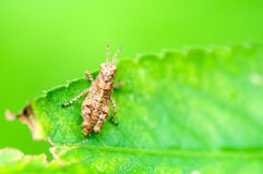 Grasshopper on leaf Stock Image