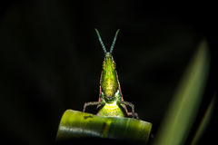 Grasshopper on leaf. Close Stock Photography
