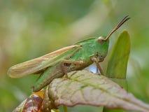 Grasshopper on a Leaf Stock Images