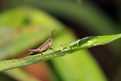 Grasshopper on leaf with dewdrops Stock Images