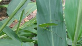 Grasshopper on Leaf stock images