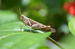 Grasshopper. On a leaf  in the garden Stock Image