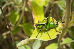 Grasshopper on the leaf Royalty Free Stock Photos