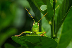 Grasshopper on leaf Stock Photography