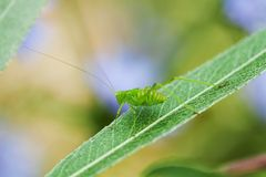 Grasshopper on a leaf Stock Images