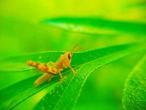 Grasshopper and leaf green Royalty Free Stock Photos