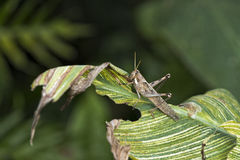 Grasshopper on a Leaf. A Large Grasshopper eating a leaf stock image