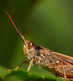 Grasshopper on a leaf. Macro shot of this insect taken in the garden. Just pure nature Stock Image