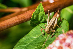 Grasshopper on leaf in nature Stock Photo