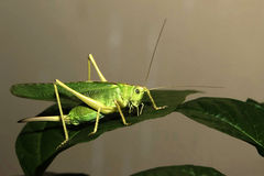 Grasshopper. The grasshopper on the leaf but still ready to jump royalty free stock images