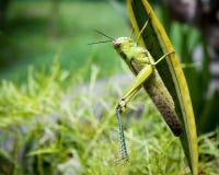 Grasshopper on a leaf Stock Photo
