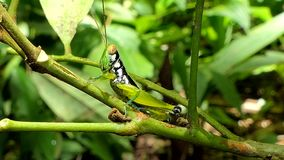 Grasshopper on the leaf. In tropical rain forest stock video