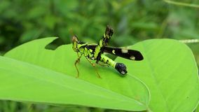 Grasshopper on the leaf in tropical rain forest. Zoom in stock footage
