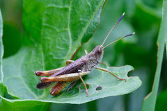 Grasshopper on leafs. Grasshopper on leaf. Late afternoon on natural grassland Royalty Free Stock Photos