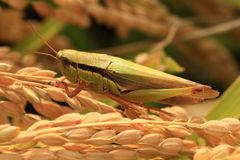 Grasshopper on a leave Stock Photo