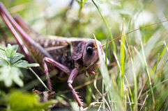 Grasshopper in the leaves Stock Images