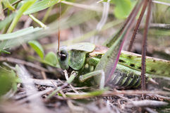 Grasshopper in the leaves Stock Image