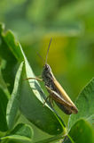 Grasshopper on the leaves of clover Royalty Free Stock Image
