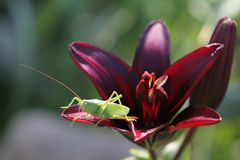 Grasshopper in lily Stock Image