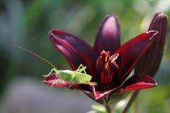 Grasshopper in lily. Green grasshopper in burgundy lily Stock Image