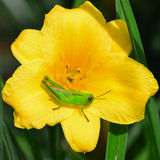 Grasshopper on lily flower Royalty Free Stock Photography