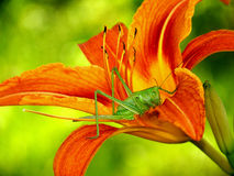 Grasshopper in lily Royalty Free Stock Photos