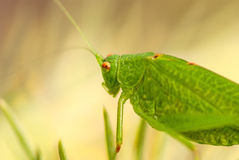 Grasshopper is a list of the grass. Close-up Stock Photography