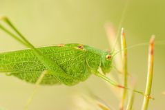 Grasshopper is a list of the grass. Close-up Stock Images