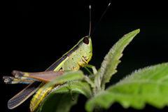 Grasshopper living on the leaf Royalty Free Stock Image