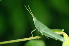 Grasshopper living on the leaf Stock Photo