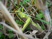 Grasshopper/Locust Royalty Free Stock Images