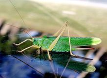 grasshopper.  locust. Stock Photography