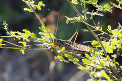 grasshopper (locust) sits on a green branch Royalty Free Stock Photography