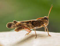 The grasshopper. Locusts are locust, orthoptera insects. Commonly known as locusts, a lot of more phyletic, the world has more than 10000 kinds. Distribution Royalty Free Stock Photography