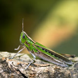 Grasshopper on Log Stock Photography