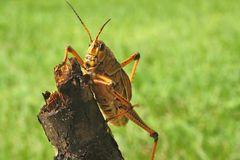 Grasshopper on log. Large grasshopper climbing on a chunk of wood Stock Photography