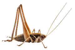 Grasshopper with long legs Stock Photography