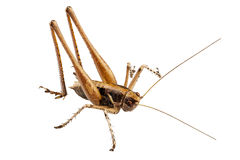 Grasshopper with long legs Royalty Free Stock Photos