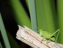 Grasshopper with long mustache Stock Photos