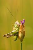 Grasshopper look Royalty Free Stock Photos