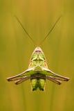 Grasshopper look Royalty Free Stock Photo
