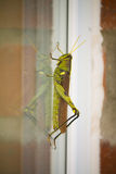 Grasshopper. Looking at his reflection on a window Royalty Free Stock Images